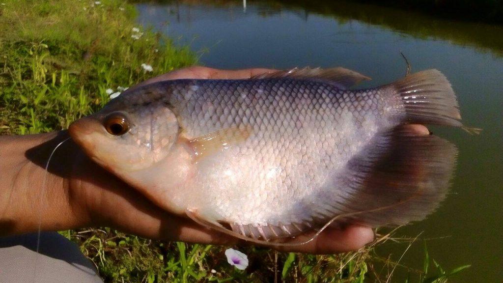 cara merawat ikan gurame