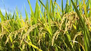 menanam padi
