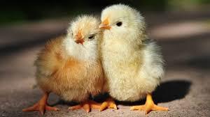 sesuaikan umur ayam